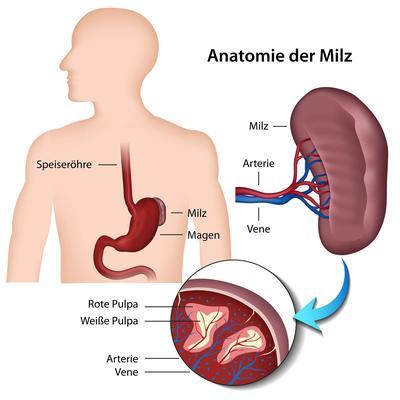 Milz und Thymusdrüse